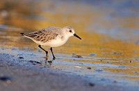 Sanderling (Calidris alba), in the evening light, Black Sea coast, Bulgaria, Europe