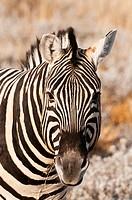 Burchell´s zebra, Etosha National Park, Namibia..Burchell´s zebra Equus burchellii, Etosha National Park, Namibia.