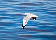 Seagull flying on beautiful blue sea