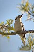 Australian Blue winged Kookaburra..