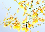 beautiful bordeaux_yellow blotchy orchid flowers cluster macro