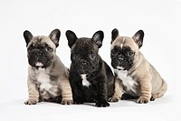 Pedigree French Bulldog Puppies in a row on white.Pedigree puppies / brotherly love, family & friendship