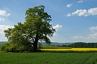 big tree standing in front of a field of rape