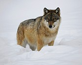 Wolf (Canis lupus) in the snow, wildlife enclosure of the Bavarian Forest National Park, Bavaria, Germany, Europe