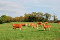 Cows in meadows