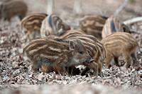 Wild Boar (Sus scrofa) piglets, Daun, Eifel, Rhineland-Palatinate, Germany, Europe