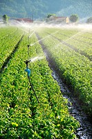 Irrigation system on a large farm field of spinach