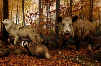Reconstructed scene of an autumnal beech forest with stuffed animals, Wolf Canis lupus, left, Badger Meles meles, Wild Boar Sus scrofa, tusker, Jay Ga...