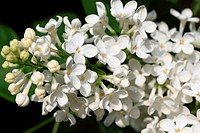 Macro photo of white lilac blossom bloom.