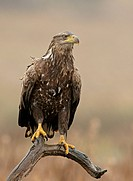 White_tailed Eagle or Sea Eagle Haliaeetus albicilla, Feldberger Seen, lakes, Mecklenburg_Western Pomerania, Germany, Europe