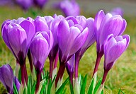 Outdoor shot of a group of purple crocuses at smooth sunshine