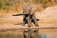 Young African elephant Loxodonta africana at a waterhole, South Africa