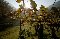 Old vineyard in backlight