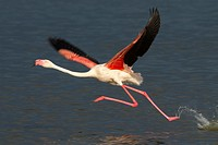 This Greater flamingo seems to run on the water surface before taking off