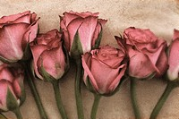 Seven pink roses in a line close up