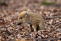 Wild Boar (Sus scrofa), piglet, Wildpark Vulkaneifel deer park, Rhineland-Palatinate, Germany, Europe