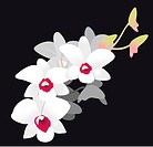 White Orchid. Vector Illustration isolated on black background