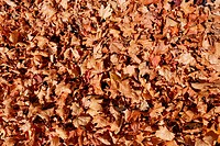 Dead leaves lying on ground