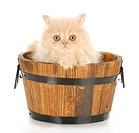 cream persian kitten sitting in wood wash basin looking at viewer with reflection on white background