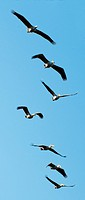 Pelicans flying in Moremi National Park