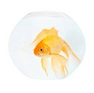 A golden fish in aquarium isolated on white.