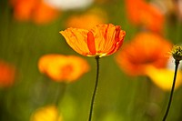 Selective focus on Orange California Poppies