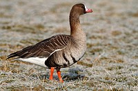 Greater White-fronted Goose (Anser albifrons) standing on a frozen meadow in its wintering area, Bislicher Island, North Rhine-Westphalia, Germany, Eu...