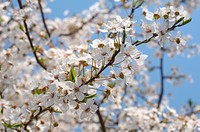 Blossoming Cherry (Prunus avium), Ukraine, Eastern Europe