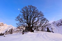 Evening, dusk, evening light, afterglow, evening mood, Acer pseudoplatanus, Alpstein, Appenzell, mountain, sycamore, mountains, mountains, moon, silho...
