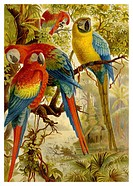 Historical graphic representation, Scarlet Macaws Ara macao, 19th Century, from Meyers Konversations_Lexikon encyclopaedia, 1889