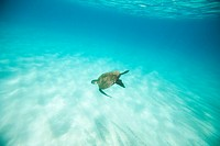 Turtle Swimming Undersea