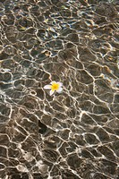 Plumeria Floating On Water