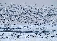 Barnacle Geese (Branta leucopsis), winter, Solway, Dumfries, Scotland, United Kingdom, Europe