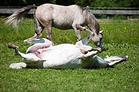 Two gray horses in a paddock, an Arabian mare rolling on the grass, North Tyrol, Austria, Europe