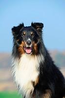Shetland Sheepdog, Sheltie, tricolour, portrait