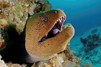 Giant moray Gymnothorax javanicus, Red Sea, Egypt, Africa