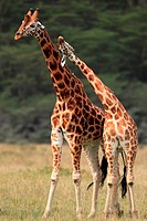 Rothschild Giraffes, Giraffa camelopardalis rothschildi, Lake Nakuru National Park, Kenya