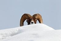 Bighorn sheep Ovis canadensis ram behind a snow drift, Jasper National Park, Alberta, Canada