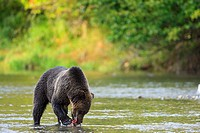 Grizzly bear Ursus arctos horribilis feeding on salmon on the British Columbia Coast in Canada