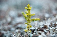Tiny, young spruce tree