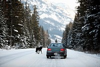 Wolf Canis lupus,walking on a road in Jasper National Park, Alberta, Canada
