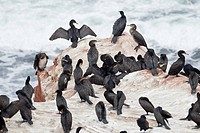 A colony of Cormorants roosting on the red rocky shore in the Cavendish area of Prince Edward Island National Park