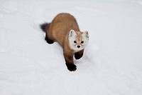 An American Marten Martes americana in winter, Algonquin Provincial Park, Ontario, Canada _ this member of the mustelidae family is often referred to ...