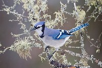 A Blue Jay Cyanocitta cristata perched on a lichen covered branch in Algonquin Provincial Park, Ontario, Canada