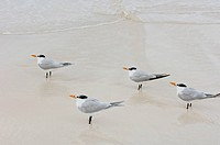 Royal Terns, Thalasseus maximus, Tulum Beach, Quintana Roo, Mexico
