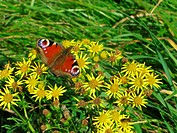 butterfly on flowers in wales great britain uk