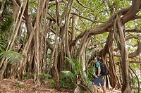 Banyan trees in the Valley of the shadows, Lord Howe Island, NSW, Australia MR