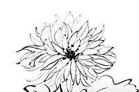 Chinese painting of flower,chrysanthemum , on white background.