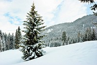 Fir trees covered with snow on winter mountain at French Alps