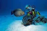 Scuba diver looking at a yellowfin surgeonfish (Acanthurus xanthopterus), fluted giant clam (Tridacna squamosa), Maldives, Indian Ocean, Asia